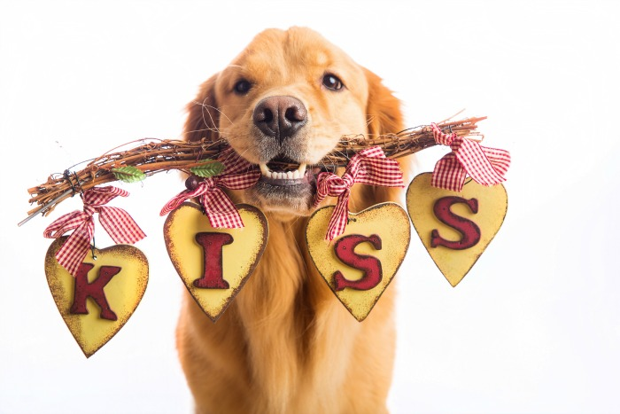 A beautiful Golden Retriever Dog holding a sign in his mouth that says KISS