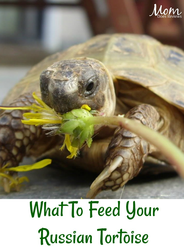 What To Feed Your Russian Tortoise