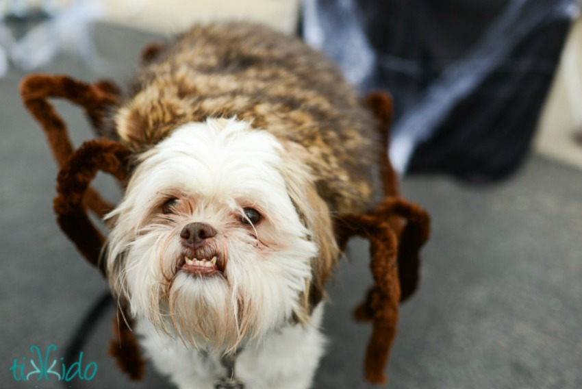 Spider Dog Halloween Costume Tutorial